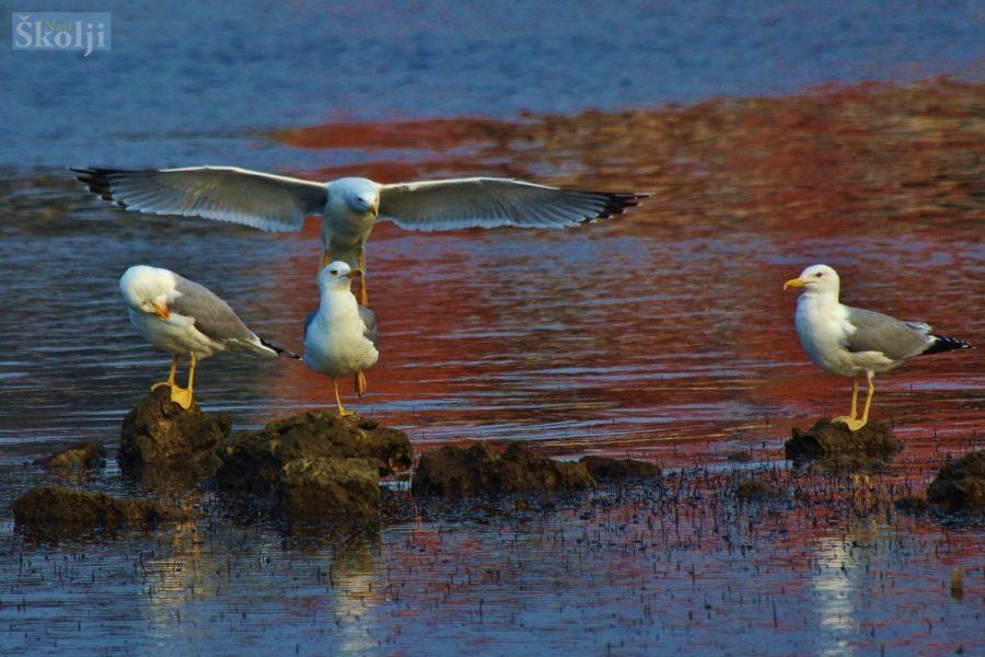 Smanjivanje populacije galebova podmetanjem lažnih jaja