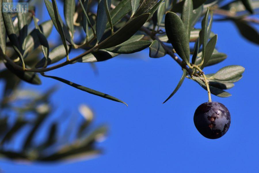 Udruga Idro za mještane Čeprljande organizira Dane maslinovog ulja