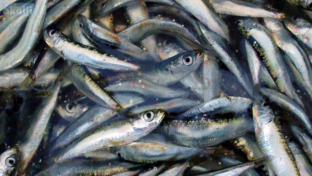 Europska komisija odustala od kvota za malu plavu ribu u Jadranu