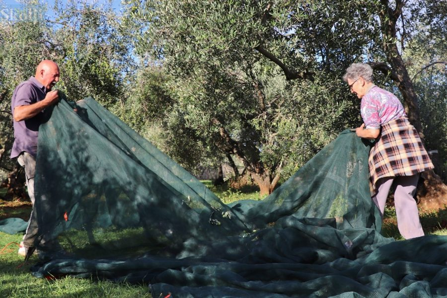 Najpoznatiji ugljanski maslinar Vojko Škopić očekuje  oko sedam tona uroda